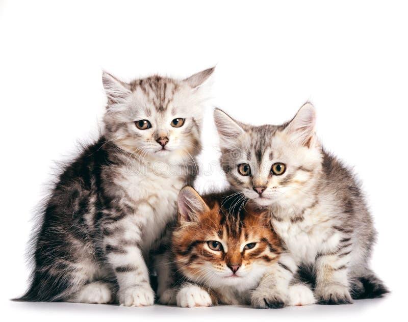 Sibirische Katzen, süße Kätzchen aus demselben Wurf, die auf weißem Boden isoliert sind stockfoto