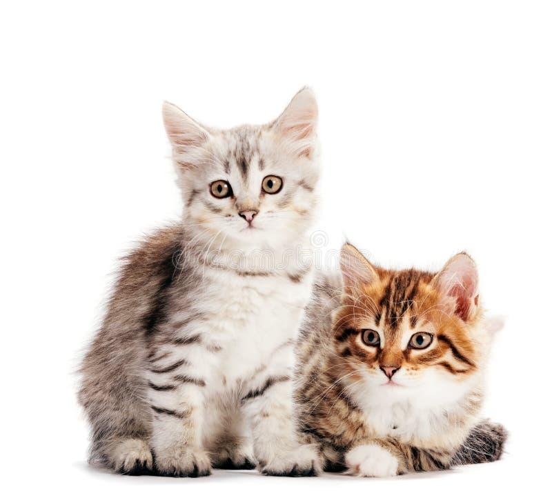 Sibirische Katzen, zwei Kätzchen aus demselben Wurf, auf weißem Weiß isoliert stockbild