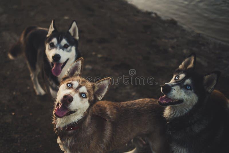 Sibirische Schlittenhunde stockfoto
