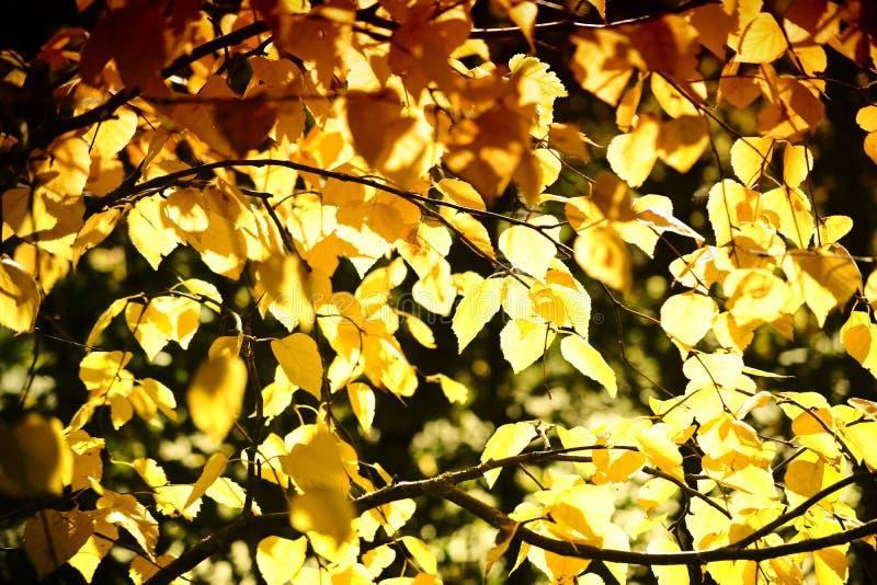 Sibirische silberne Birke des Herbstlaubs stockbild