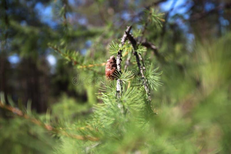 Sibirische Zeder Hintergrund von jungen Kiefernkegeln stockbilder