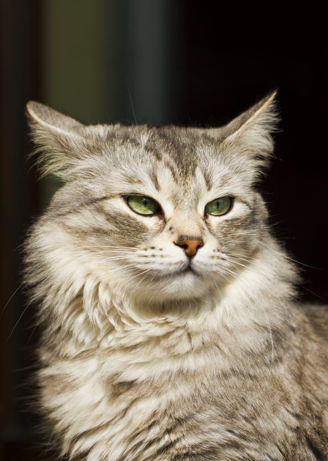 Sibirische Zucht des süßen silbernen Kätzchens, neva Maskeradeversion lizenzfreies stockbild
