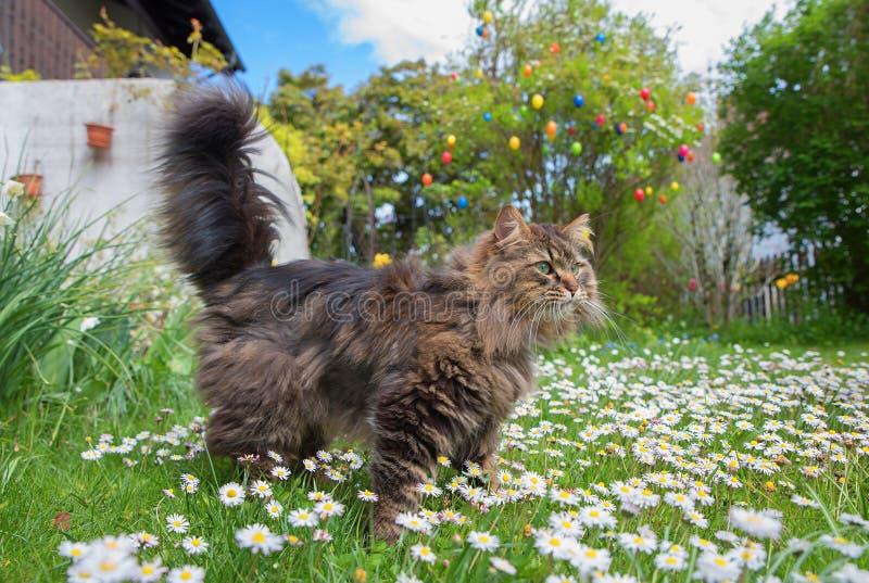 Sibirische Zucht- Katze auf Gänseblümchenwiese im Garten lizenzfreie stockfotografie
