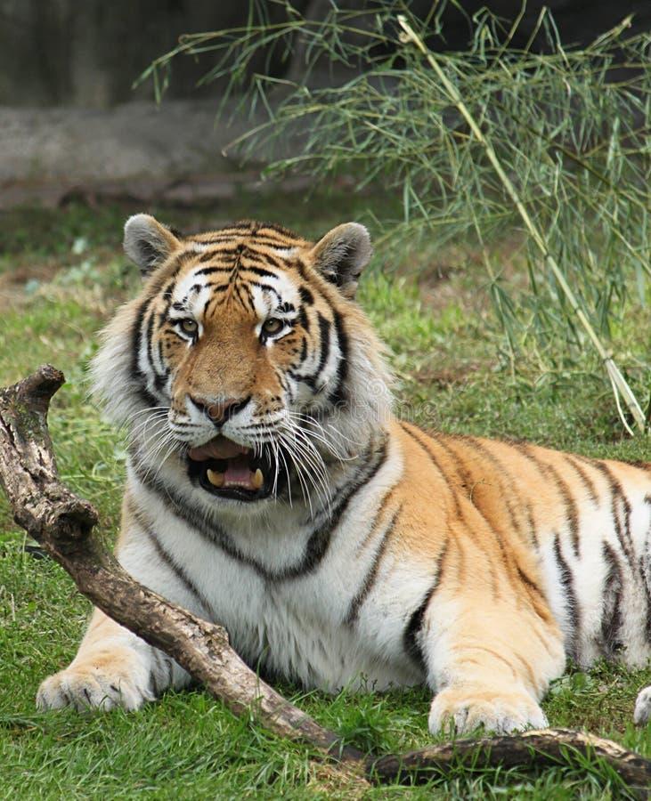 Sibirischer entspannender Tiger stockfoto