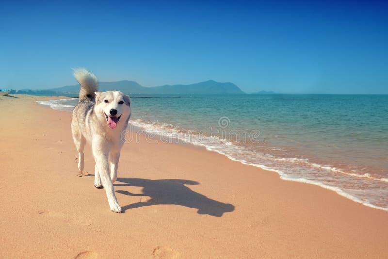 Sibirischer Husky, der auf den Strand geht stockfotografie