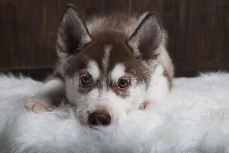 Sibirischer Hustierwelpen auf Holzfußboden stockfotografie