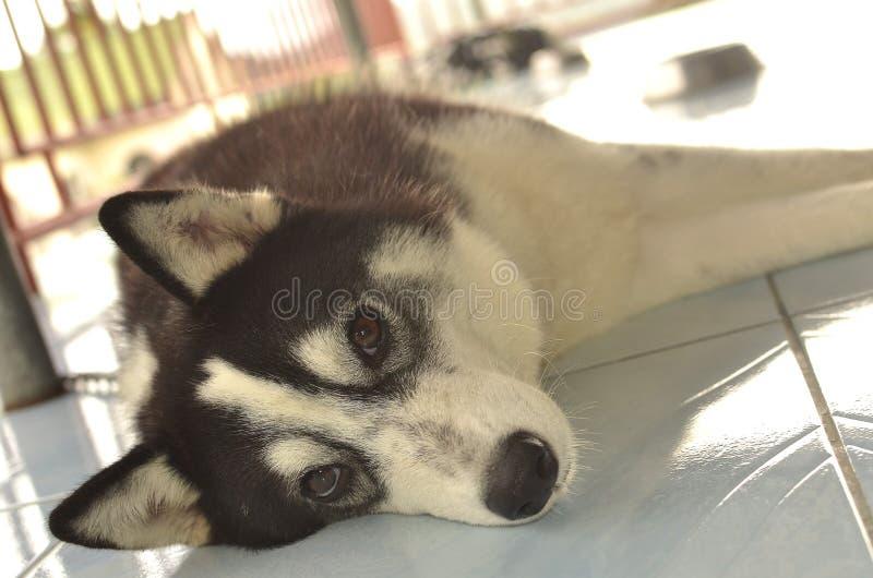 Sibirischer Schlittenhund lizenzfreie stockbilder