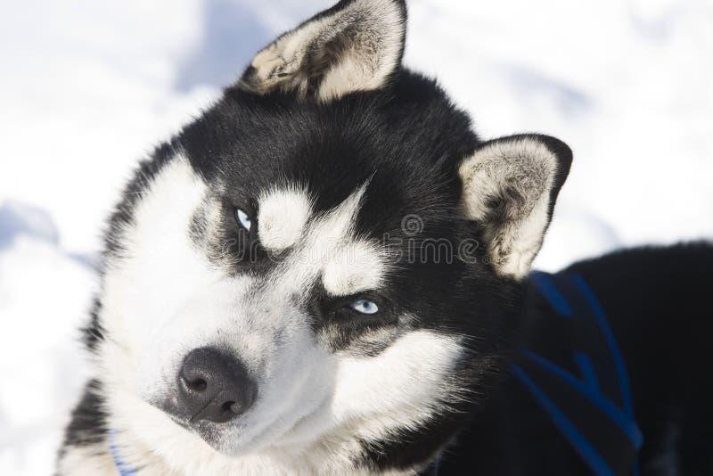 Sibirischer Schlittenhund im Schnee lizenzfreie stockbilder