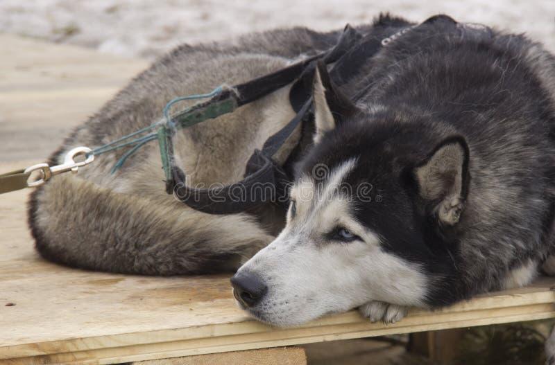 Sibirischer Schlittenhund stockbild