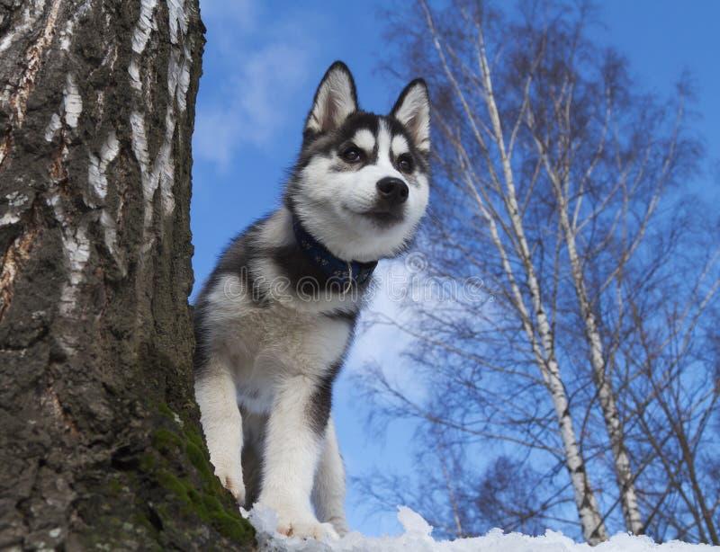 Sibirischer Schlittenhund-Welpe stockfotos