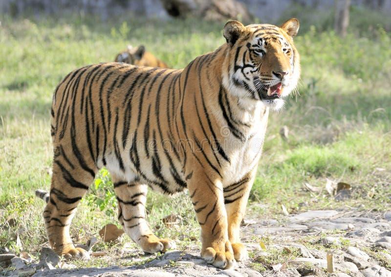 Sibirischer Tiger stockbilder