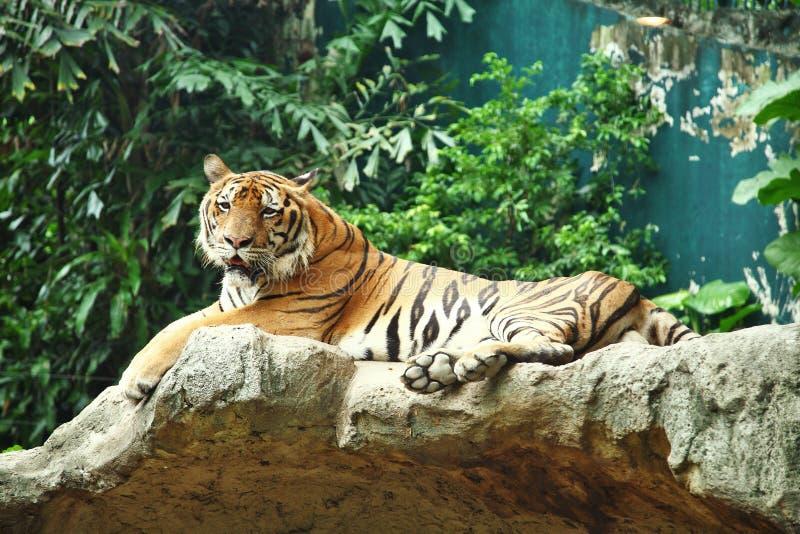 Sibirischer Tiger auf einem Felsen in einem thailändischen Zoo lizenzfreies stockbild