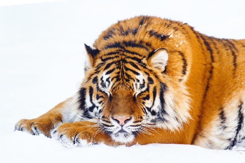 Sibirischer Tiger auf Schnee stockbild
