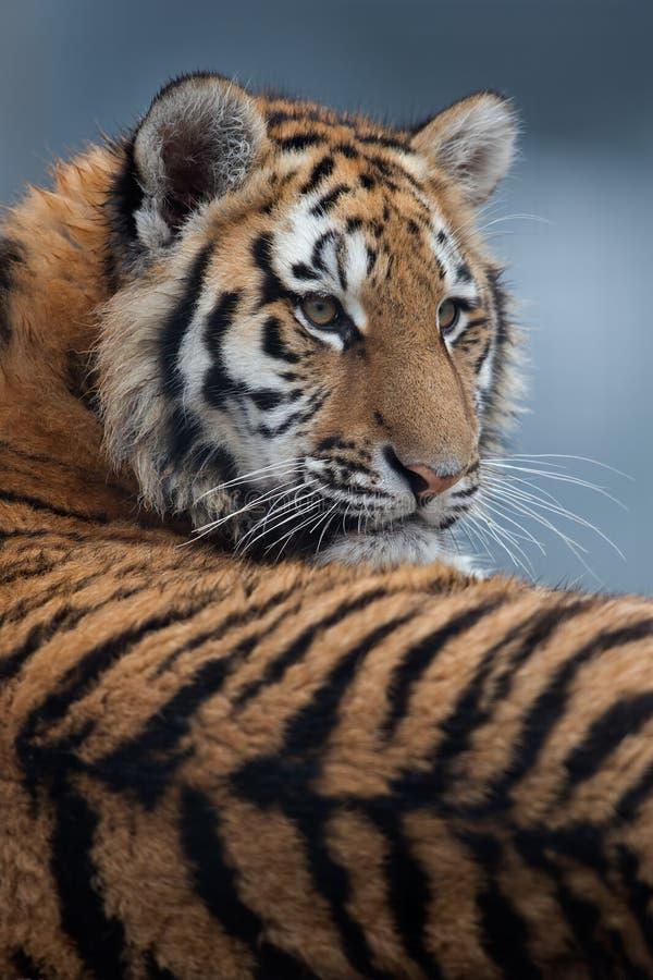 Sibirischer Tiger Cub (Panthera Tigris altaica) stockfotografie