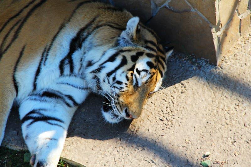 Sibirischer Tiger, der im Schatten schläft stockfotos
