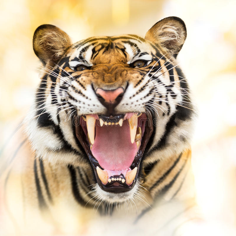 Sibirischer Tiger des Knurrens lizenzfreies stockbild