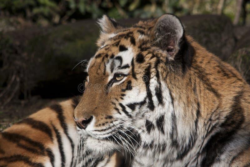 Sibirischer Tiger in einem Zoo stockbild