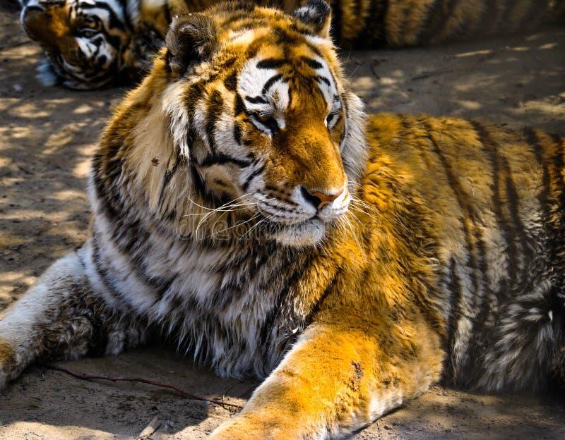 Sibirischer Tiger in Harbin, China lizenzfreie stockbilder