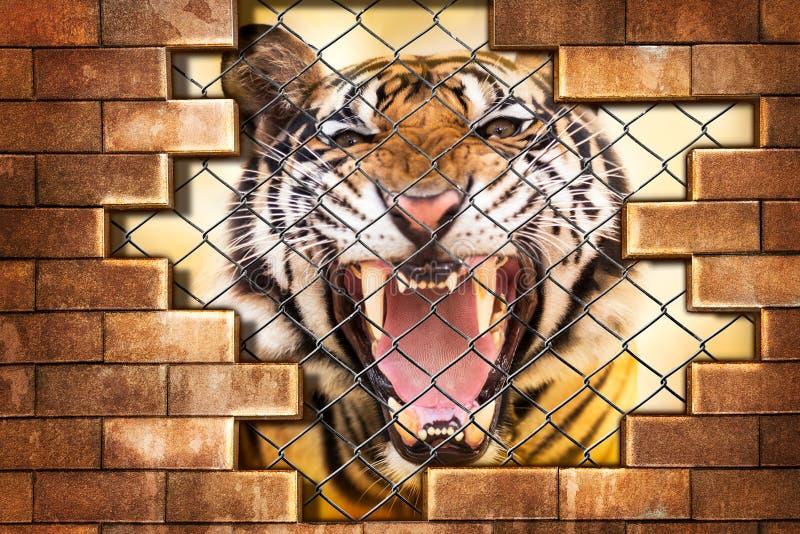 Sibirischer Tiger im Käfig stockbild