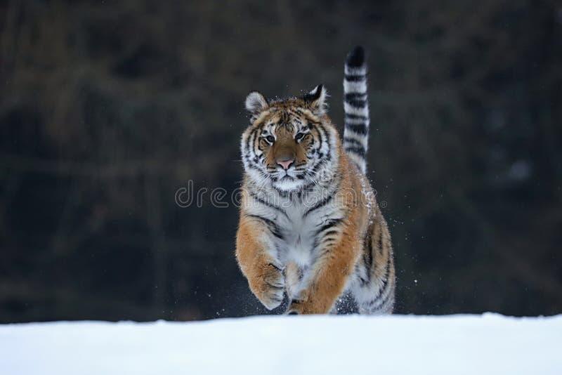 Sibirischer Tiger im Schnee stockbilder