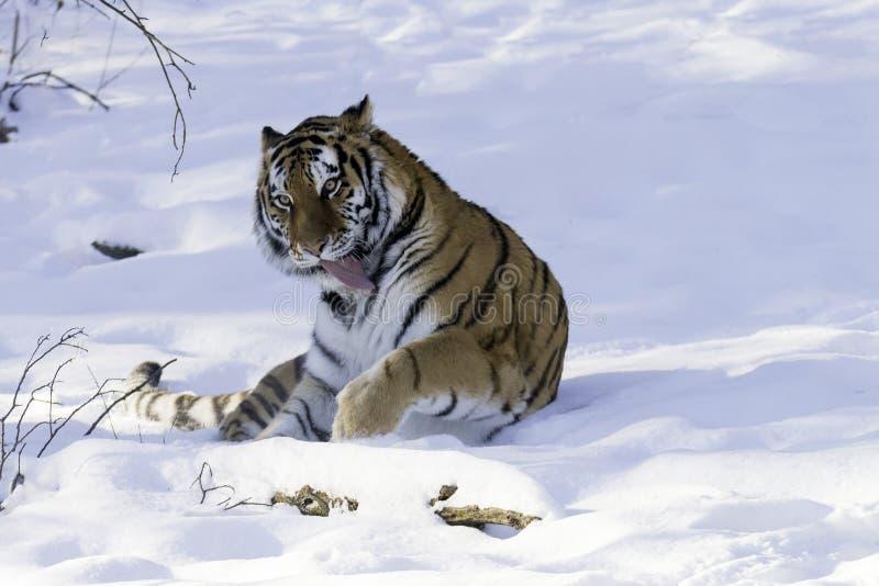 Sibirischer Tiger im Schnee lizenzfreie stockbilder