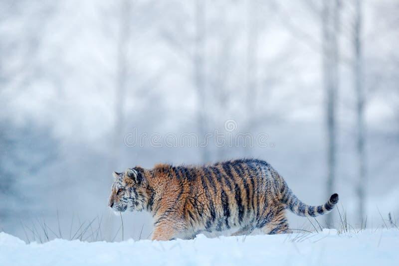Sibirischer Tiger im Schneefall Amur-Tiger, der in den Schnee läuft Tiger in der wilden Winternatur Szene der Aktionswild lebende stockfotos
