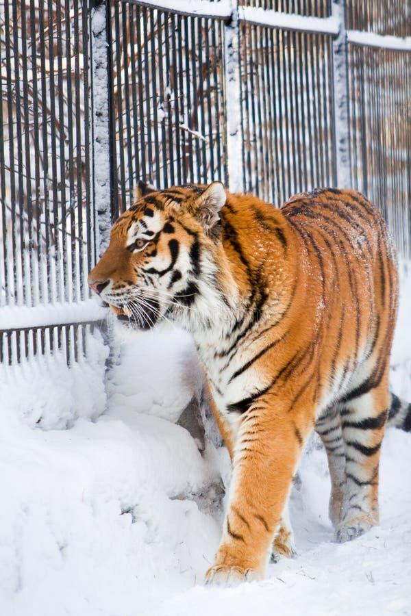 Sibirischer Tiger im Zoo lizenzfreies stockbild