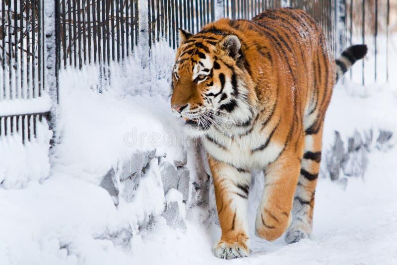 Sibirischer Tiger im Zoo lizenzfreie stockfotos