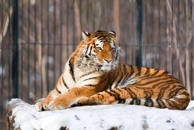 Sibirischer Tiger im Zoo stockfotografie