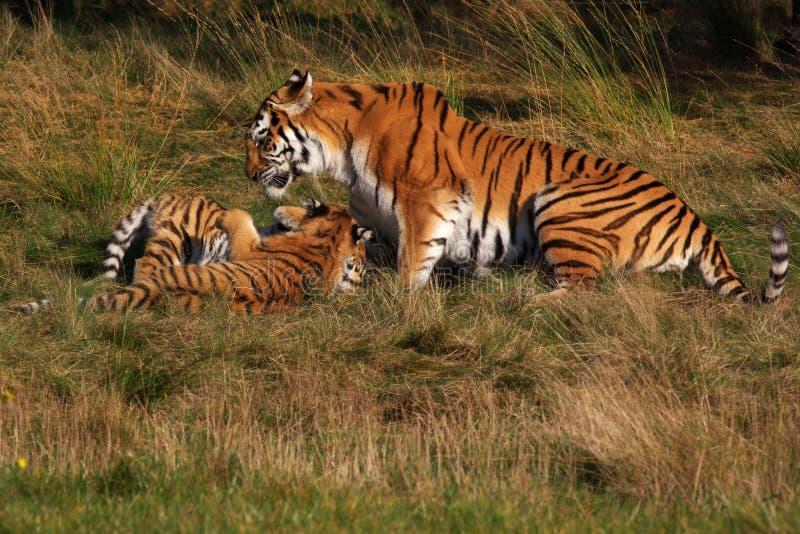 Sibirischer Tiger mit Jungen stockfotos