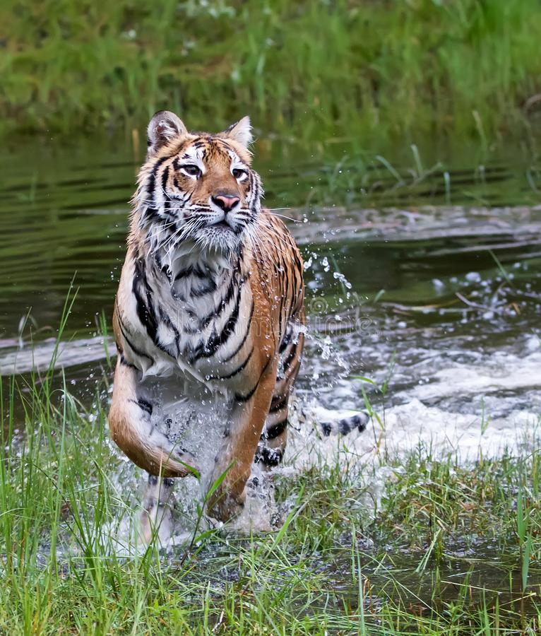 Sibirischer Tiger oder Amur lizenzfreies stockfoto