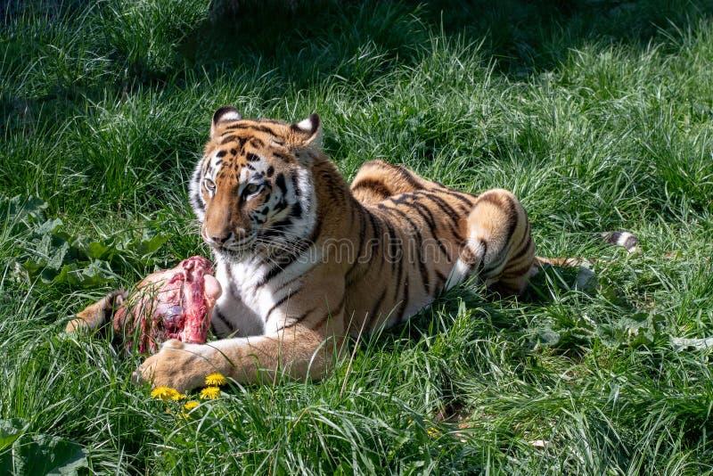 Sibirischer Tiger Panthera der Tigris alias der Amur-Tiger lizenzfreies stockbild