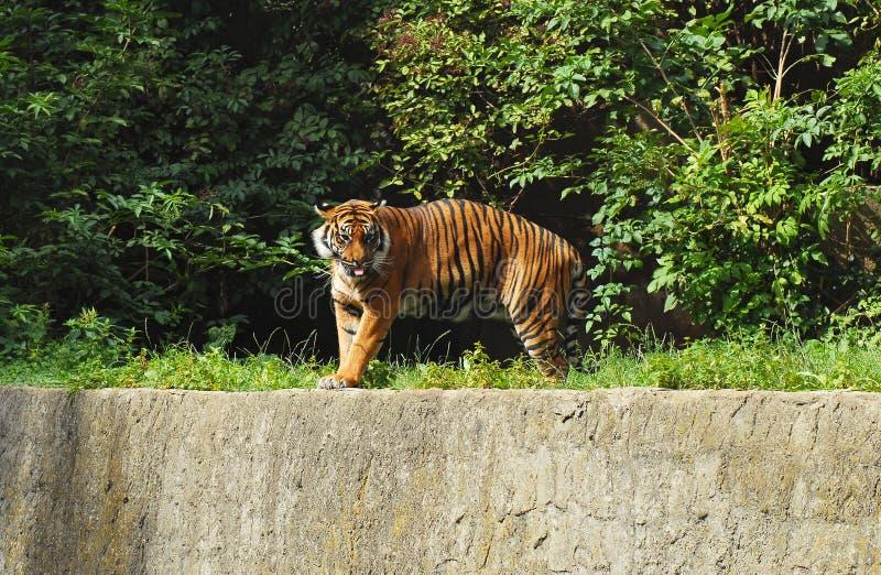 Sibirischer Tiger in Warschau-Zoo lizenzfreie stockbilder