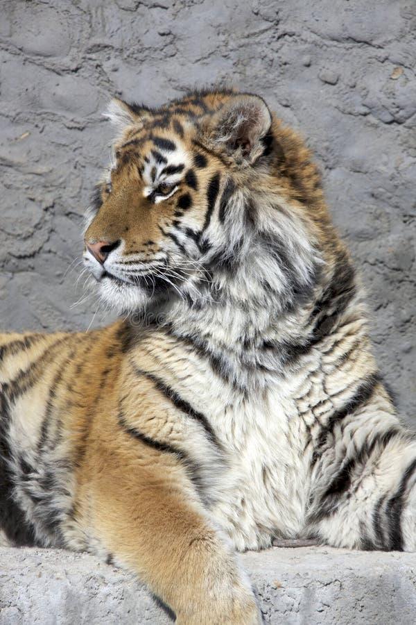 Sibirischer Tigerkopf stockfotos