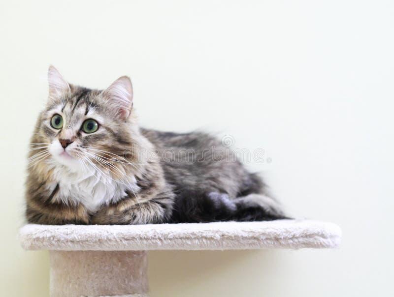 Sibirisches Kätzchen, braune Version lizenzfreies stockbild