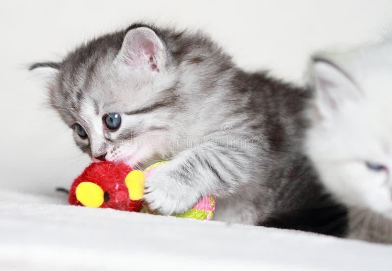 Sibirisches Kätzchen, silberne Version stockfoto