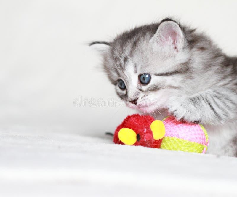 Sibirisches Kätzchen, silberne Version lizenzfreies stockfoto