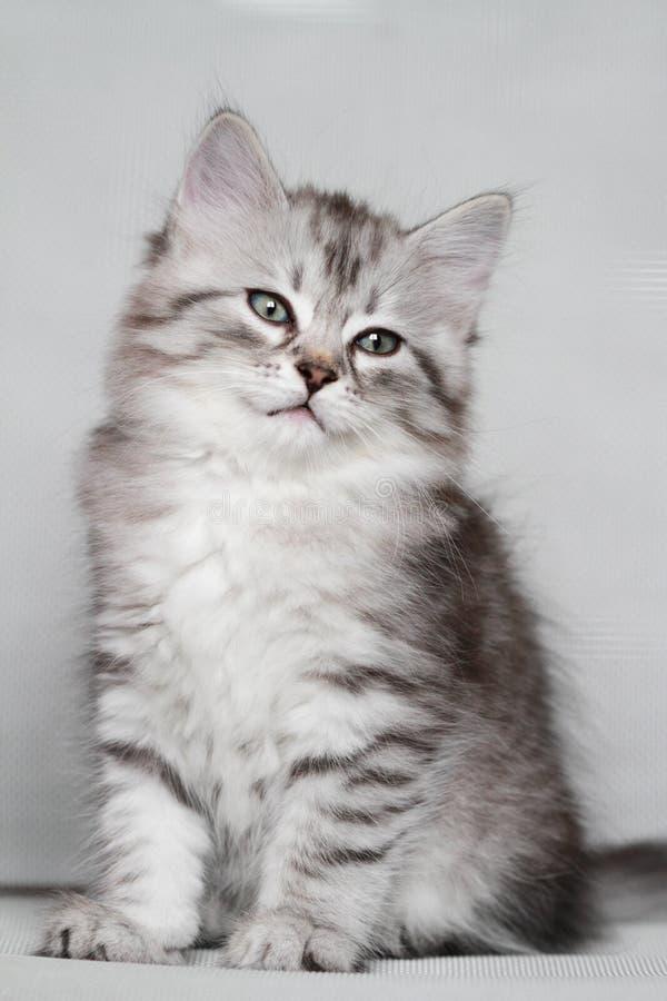 Sibirisches Kätzchen, silberne Version, Welpe stockbilder
