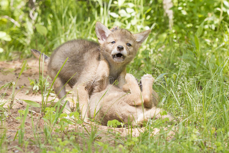 Sibling rivalry. Two coyote pups play fighting stock image