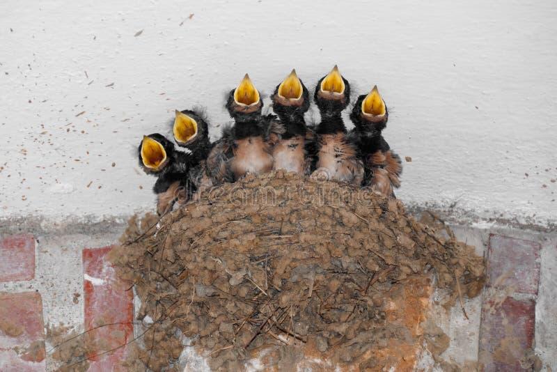 Download Siblings' chorus stock photo. Image of fledgling, black - 23715500