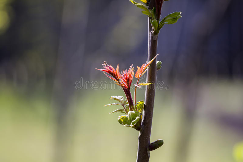 Sicómoro y x28; Pseudoplatanus& x29 de Acer; hojas del brote y de los jóvenes en la primavera imágenes de archivo libres de regalías