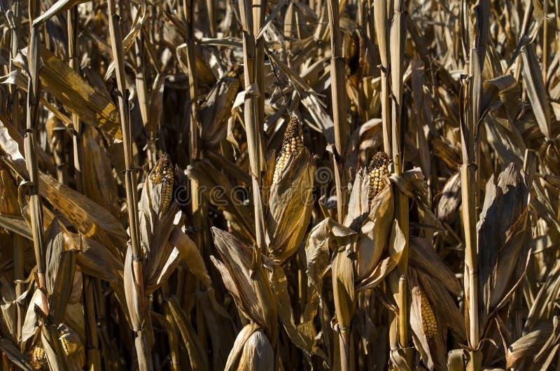 Siccità nella fascia dell'azienda agricola fotografia stock libera da diritti