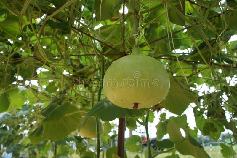 Sicenaria Lagenaria ή κολοκύθα Calabash Δέντρο κολοκύθας με τα κρεμώντας φρούτα του στοκ εικόνες