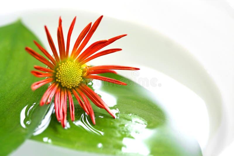 Sich hin- und herbewegende Chrysantheme und Schulamt lizenzfreie stockbilder