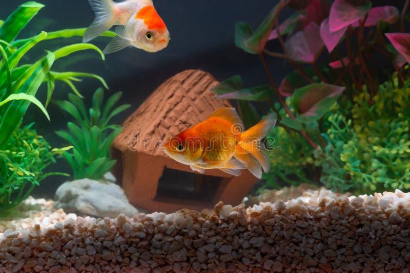 Sich hin- und herbewegende Schwimmen der Goldfische oder -Goldfisches Unterwasser im frischen Aquariumbeh?lter mit Gr?npflanze lizenzfreies stockfoto