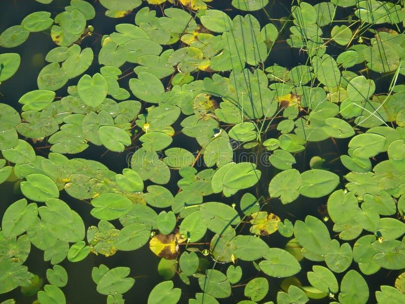 Sich hin- und herbewegende Wasserpflanzen lizenzfreies stockbild