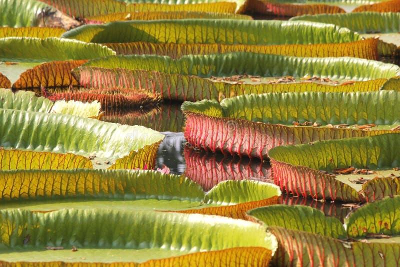 Sich hin- und herbewegender Lotos, riesige Seerose oder Victoria-Seerose stockfotografie