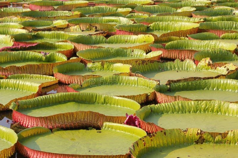 Sich hin- und herbewegender Lotos, riesige Seerose oder Victoria-Seerose lizenzfreie stockfotos