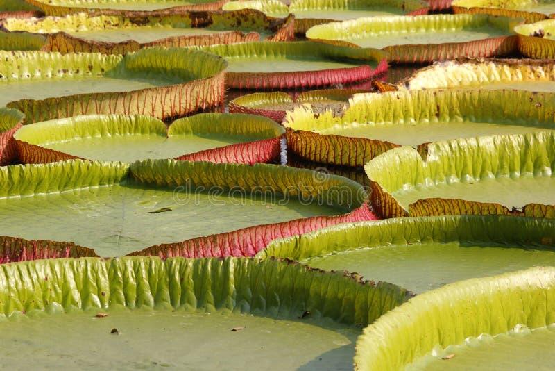 Sich hin- und herbewegender Lotos, riesige Seerose oder Victoria-Seerose stockfoto