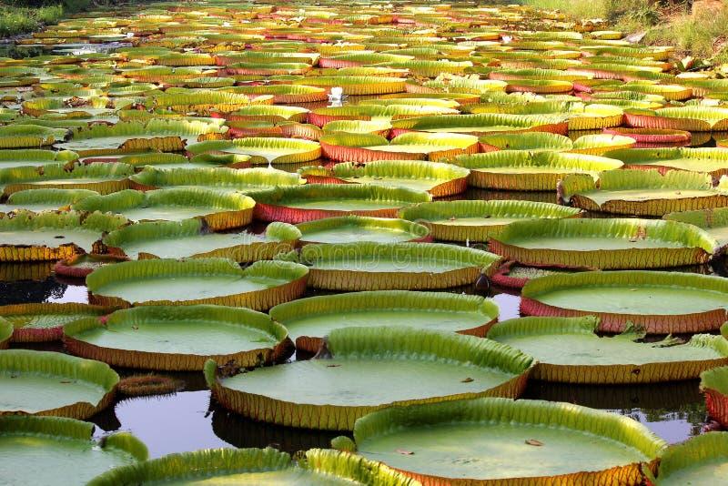 Sich hin- und herbewegender Lotos, riesige Seerose oder Victoria-Seerose stockfotos